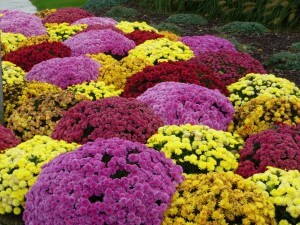 colorful mums in bloom