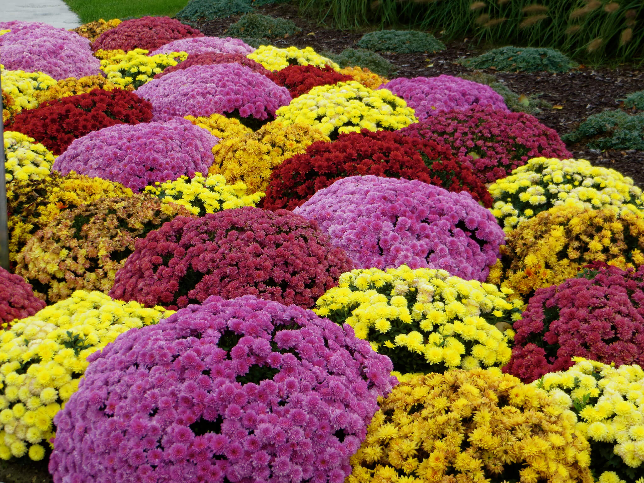 Planting fall mums in georgia gardens colorful mums in bloom izmirmasajfo