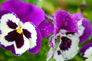 cool-season pansies